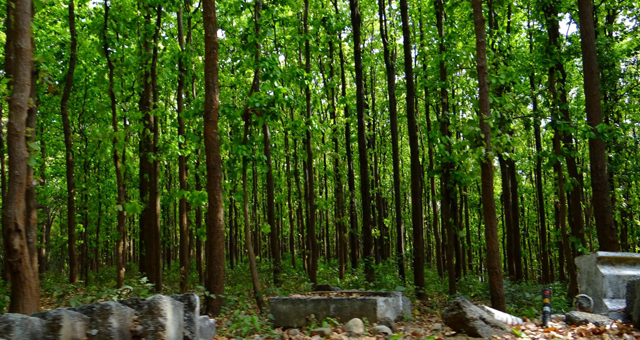 Sal Trees in Kanha National Park